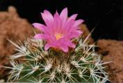 Cactaceae - Gymnocactus horripilus