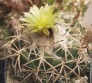 Cactaceae - Coryphantha bumamma