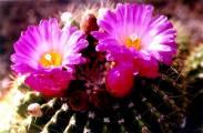 Cactaceae - Notocactus herteri